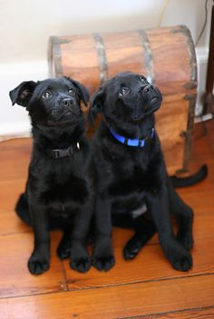 LABRADOR – Who can resist a lab puppy?! ❤ Labrador Retriever: Here is Jack and Bobby at around the 4 months old mark. Jack is in black, and Bobby is in blue. They are brothers from the same litter.