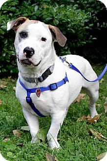 Pictures of Thaddeus a Basset Hound/American Bulldog Mix for adoption in nashville, TN who needs a loving home.