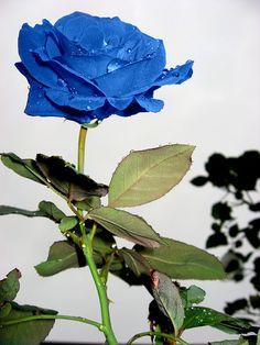 #Blue Rose!!!