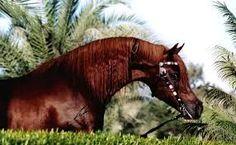 Bildresultat för fancy arabian horse