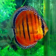 Discus Fish - Alancer Red Pack from AZ Gardens