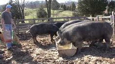 AWESOME MOTHER PIGS & THEIR PIGLETS - A Must See - YouTube