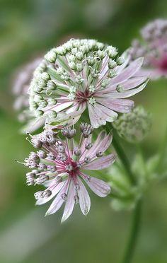 Astrantia - Lovely Flower !