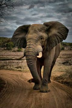 (artistic ~ elephant tribe group ~ classic elephant (full) ~ classic setting ~ professional photography)  (her elephant photo is artistically drawn on)