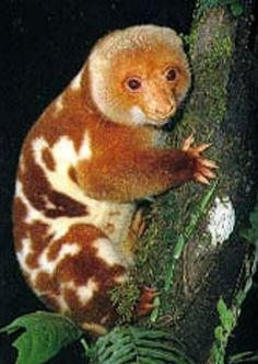 The Common Spotted Cuscus Spilocuscus Maculatus is a Cuscus, a marsupial that lives in the Cape York region of Australia, New Guinea and nearby smaller islands. Interesting Animals, Unusual Animals, Rare Animals, Animals And Pets, Funny Animals, Wild Animals, Spotted Animals, Animals Planet, Cute Creatures