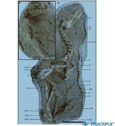 Holotype IVPP V 16923 de Linheraptor exquisitus