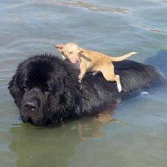 Helping my little friend #newfoundland #dog