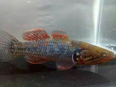 Snakehead Gudgeon Snakehead Fish, Freshwater Fish, Aquarium Fish, Predator, Spectrum, Fresh Water, Marble, Pets, Color