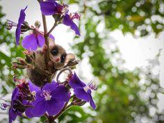 Uma pequena cuíca espia detrás das flores. Marsupial fotografado na Serra do Japi, Jundiaí, São Paulo, Brasil, pelo nosso leitor Renan Garcia de Oliveira - National Geographic.