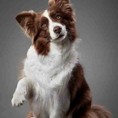Beautiful Brown Border Collie; Kaibara owns a Collie named Lorelai; the most energetic and spirited out of all of the Ginger's pets, and very sweet.