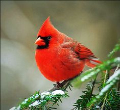 Cardinals, in the family Cardinalidae, are passerine birds found in North and South America. They are also known as cardinal-grosbeaks and cardinal-buntings. Pretty Birds, Beautiful Birds, Animals Beautiful, Cute Animals, Animals Amazing, Pretty Animals, Beautiful Life, Beautiful Pictures, Exotic Birds