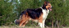 Farm collie/Farm Shepherd dog photo | Old-Time Scotch Collie Frequently Asked Questions