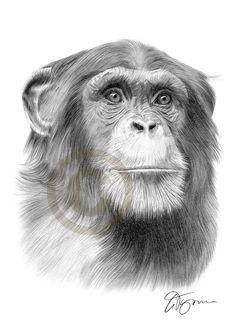 pencil-drawing-chimpanzee-chimp-artwork.jpg (JPEG obrázek, 1000×1414 bodů)