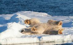 Arctic Fox HD Wallpapers Backgrounds Wallpaper
