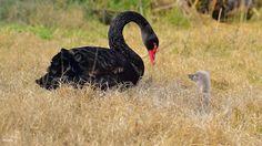 Lago di Lesina Tenerezza tra il cigno nero e il suo pulcino
