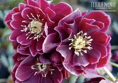 Helleborus Winter Jewels™ 'Amethyst Gem' - Another addition to the O'Byrne jewel box of Hellebores; now world renown for their exquisite breeding, Amethyst Gem has exciting amethyst-rose double flowers, lasting many weeks in the winter and early spring. Amethyst flowers margined in opal are amazing.