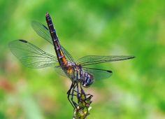 Female Blue Dasher Dragonfly Beneficial Insects, Female, Bees, Photographs, Friends, Garden, Amigos, Garten, Photos