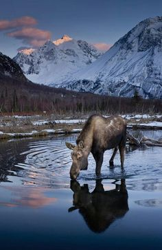 Scenic View At Sunset Of A Moose Drinking From A Pond With Alpenglow On Polar Bear Peak In The Background Chugach State Park Southcentral Alaska Spring Canvas Art - Carl R Battreall Design Pics x Beautiful Creatures, Animals Beautiful, Cute Animals, Wild Animals, Moose Pictures, Animal Pictures, Moose Pics, Wildlife Photography, Animal Photography