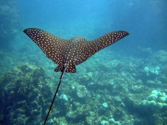 They are one of 3 types of rays inhabiting the waters of Belize. The spotted eagle ray is covered with large white and cream-colored spots on dark background and has a white underbelly. These rays can be found along reefs, walls and sandy areas, including shallow areas. Spotted eagle rays generally swim alone, although they are sometimes observed in pairs and occasionally schools.