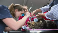 Seattle vet helping Vancouver Aquarium save shot otter | KING5.com Seattle
