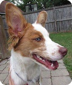 Richmond, VA - Corgi/Border Collie Mix. Meet Roscoe, a dog for adoption. http://www.adoptapet.com/pet/11303582-richmond-virginia-corgi-mix