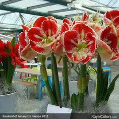 Good Morning to you all. Lovely amaryllis from the Amayllis Parade at Keukenhof.   #RoyalColors, #Amaryllis #royalcolors.com #Floral #Flower #Bloom #Beautiful #Amazing #bulbs #keukenhof #Netherlands