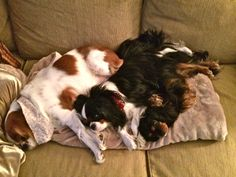 My three Babies on a cold winters morning all snuggled up together! Freddy Holley and Bella Cavalier King Charles Spaniel Cuddling