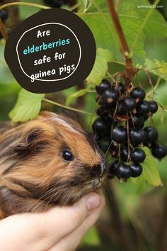 Elderberries are an excellent source of Vitamin C and sugar, which makes it equally beneficial and harmful. Guinea pigs need a balanced diet with Hay, vegetables, and fruits to live a healthy life. So, it is evident that a guinea pig owner can wonder if their guinea pigs can eat elderberries or not. Picture Credits: LILI & FRIENDS, Instagram Handle: guineapig_lili #elderberriessafeforguineapigs #guineapigs #smallpets