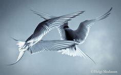 Arctic terns by Helgi Skulason, via Flickr