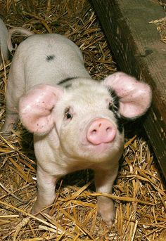 If old paintings are to be trusted, there have been spotted pigs around for two or three centuries, the Gloucestershire Old Spots has only had pedigree status since the early 20th century.
