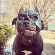 As if it weren't enough that Max was a great watch dog...... Who knew he was secretly The Cape Crusader too!