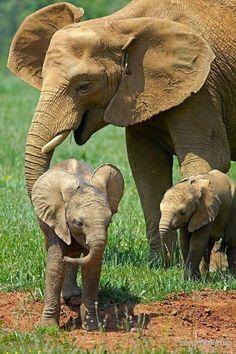 Mom with baby elephants