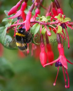 *******DIGITAL INSTANT DOWNLOAD*******  This is an original photograph of a Bumble Bee, taken by EVM Photography.  This file is available for