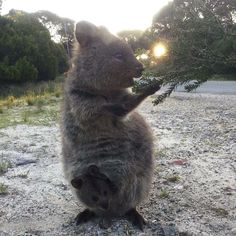 Our quokkas like to help too! They're happily helping the Conservation Volunteers Australia - Green Army in their environmental activities and the Green Army project. Photo via Conservation Volunteers Australia  Green Army. #rottnestisland #Rottnest #quokka #australia by rottnestislandwa http://ift.tt/1L5GqLp