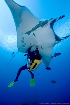 Male scuba diver touching underside of Pacific manta ray