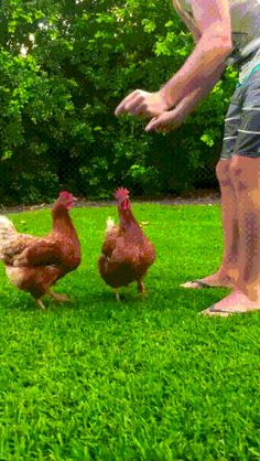 Synced Chickens