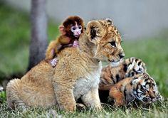 Le lionceau et le singe  CHINE, Shenyang. Un bébé singe s'accroche au dos d'un lionceau assis à côté de bébés tigres, le 1er mai 2013. REUTERS/Correspondant local