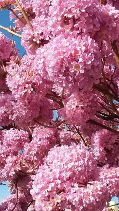 trees.quenalbertini: Pink Ipê - tree symbol of Brazil