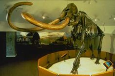 la Brea Tar Pits, Mastodons from Rancho La Brea tend to be smaller than those found at other localities. They are represented by at least 15 individuals including a baby from Project 23.
