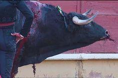 Com requintes de crueldade, touro é assassinado na primeira corrida pós lockdown - GreenMe.com.br Spain, Pets, Taurus, Animals, Running