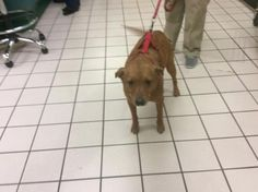 Meet SUNSHINE, a Petfinder adoptable Hound Dog | Largo, FL | Petfinder.com is the world's largest database of adoptable pets and pet care information....