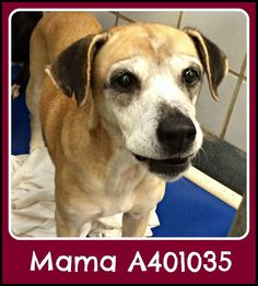 TX!!!10.12.16 EXTREMELY URGENT  A401035 Mama is sweet 6 yr.lady on death row & desperately needs an angel to save her. ID#A401035 Spayed female, tan & brown Lab Retriever blend. These pets were all part of a large cruelty case in San Antonio in September. These dogs are in need of rescues, adopters or fosters NOW!  They are on death row & could be killed ANYTIME!! https://www.facebook.com/photo.php?fbid=10154531240317310&set=a.10150590185287310.403370.853282309&type=3&theater
