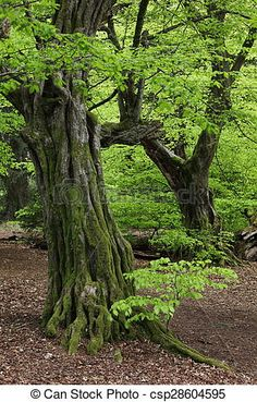 Stock Photo - Old Hornbeam in the Forest - stock image, images, royalty free photo, stock photos, stock photograph, stock photographs, picture, pictures, graphic, graphics