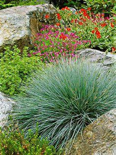 Blue Fescue, shade loving easy to care for ornamental grass