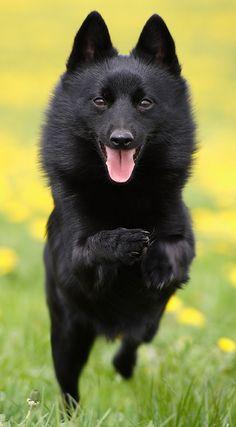 Schipperke... Wes' mom has this dog, never heard of it until she got one.  It looks like a little black bear.