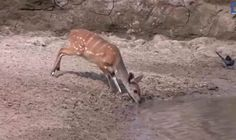 Deer drinking from the water is nearly SWALLOWED by this HUGE beast | Travel News | Travel | Daily Express