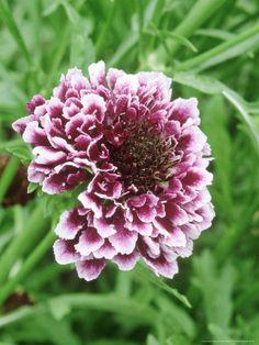 November Midwest Flower Scabiosa
