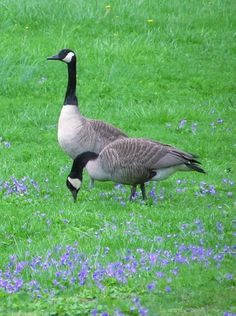 Canadian Geese..there are 10 -12 of them that stayed in our area and have built nests.  papa takes good care when they are walking to set up patrol.  He is not shy about letting you know he is in charge!