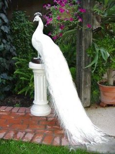 I've only seen on white peacock in person, but want one! This White Peacock is beautiful! Pavo Real Albino, Albino Peacock, Most Beautiful Birds, Pretty Birds, Beautiful Images, Beautiful Things, Beautiful Creatures, Animals Beautiful, Animals And Pets