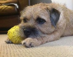 Freddy | Border Terrier